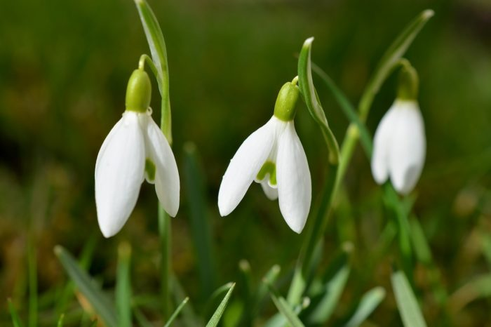Weekly sports tips: The snowdrops